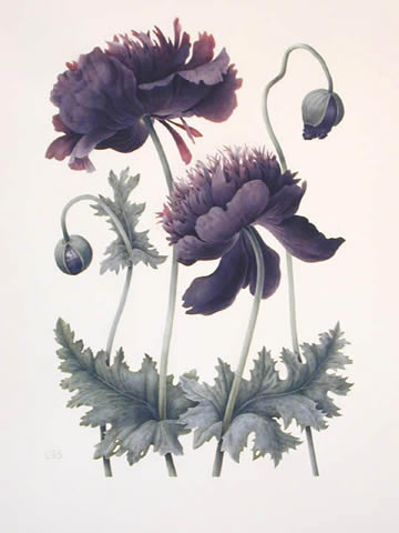 sketch of black opium poppy
