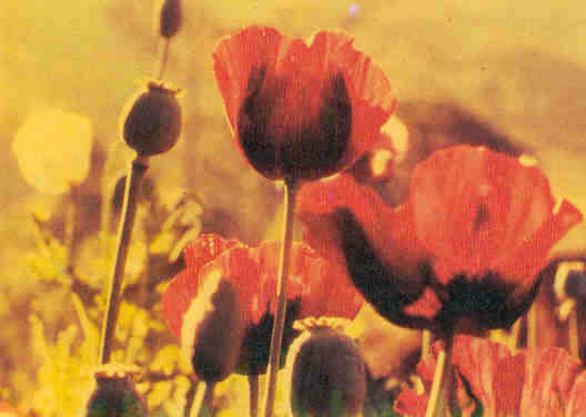 Papaver somniferum: the opium poppy