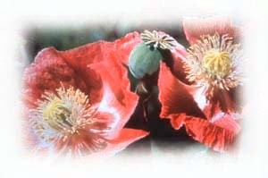 Nature's antidepressant : opium poppies